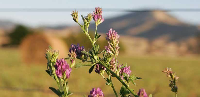 Alfalfa - lucerna