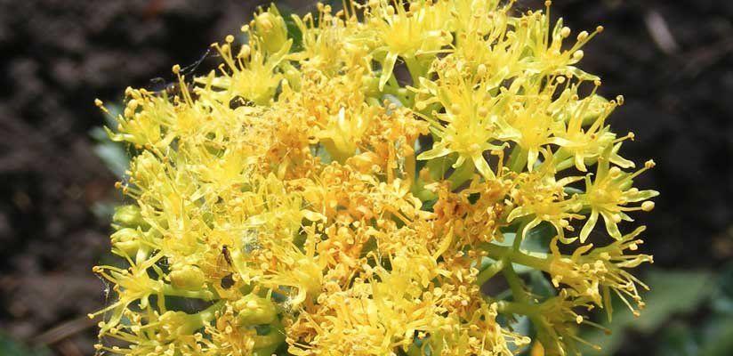 Aranygyökér - Rhodiola Rosea