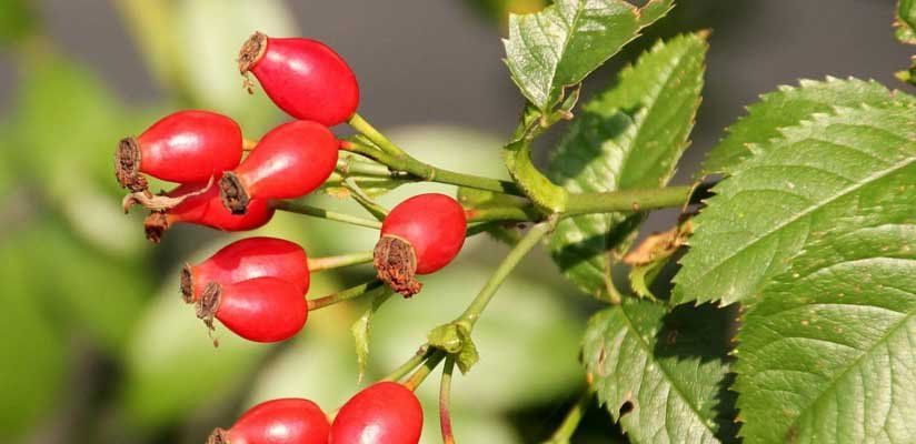 Természetes C-vitamin-forrás: a csipkebogyó