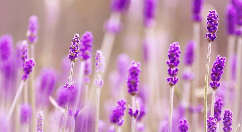 Levendula, a nyugalom gyógynövénye