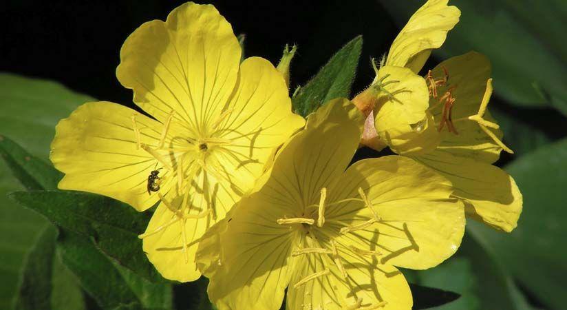 Ligetszépe virág